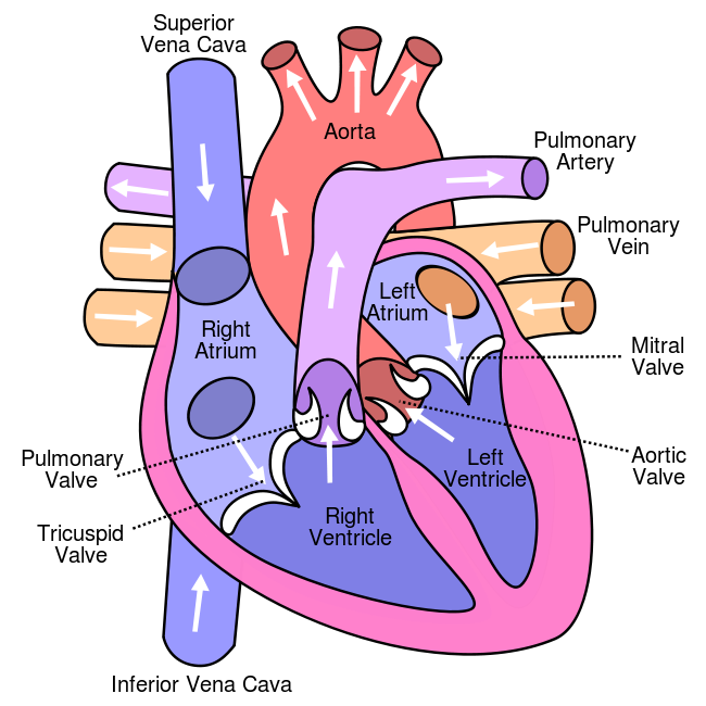 Diagram of a full, healthy human heart.